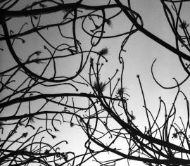 »Pollack tree« Clair Ebben